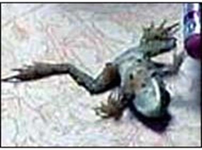 23 parmaklı kurbağa korku yarattı